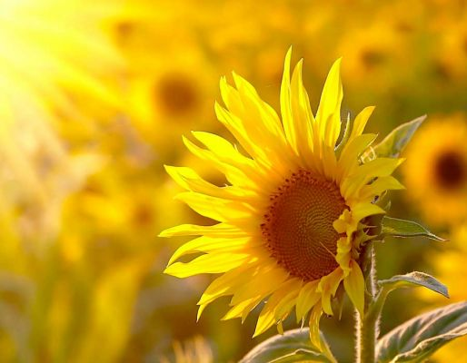 Grow the Tallest Sunflower & Win a Prize!